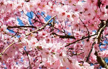 Tradiții, superstiții și obiceiuri pentru Sărbătoarea Floriilor